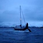 Des baleines à bosse et des orques en Norvège